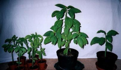 Poderes Unidos - Salvia divinorum_03